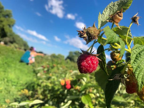 fresh raspberry on the bush stock photo