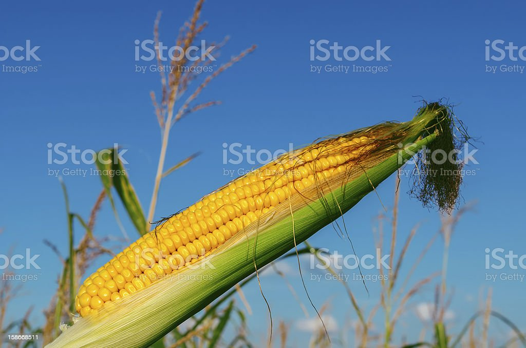 fresh raw corn on the cob with husk royalty-free stock photo