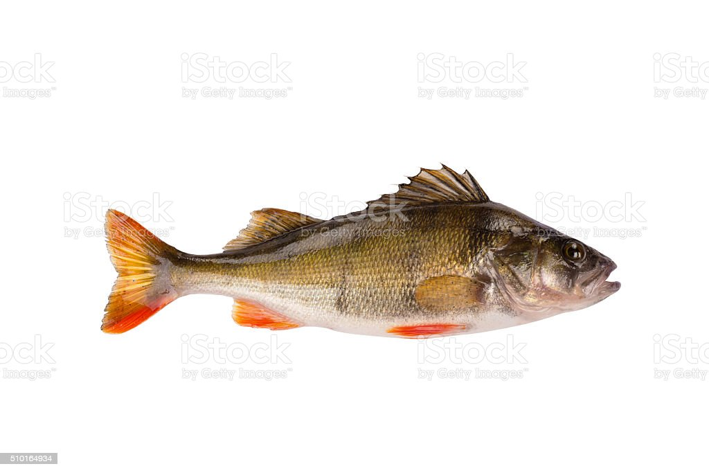 Fresh raw fish perch isolated on white background stock photo