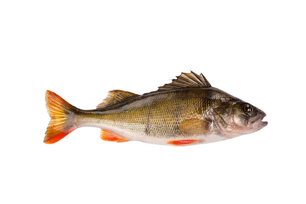 Fresh raw fish perch isolated on white background One fresh raw fish perch isolated on white background perch fish stock pictures, royalty-free photos & images