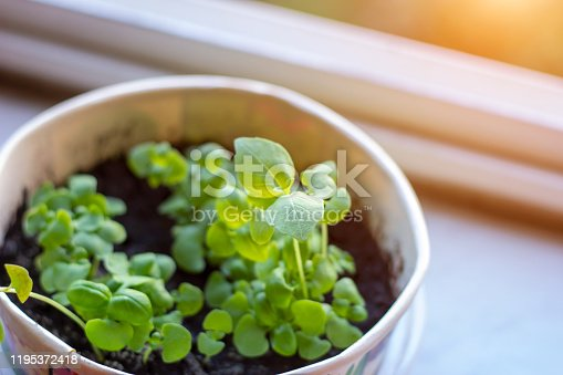 Fresh raw green organic basil (Ocimum basilicum) young plant leaves in pots at home on light background.