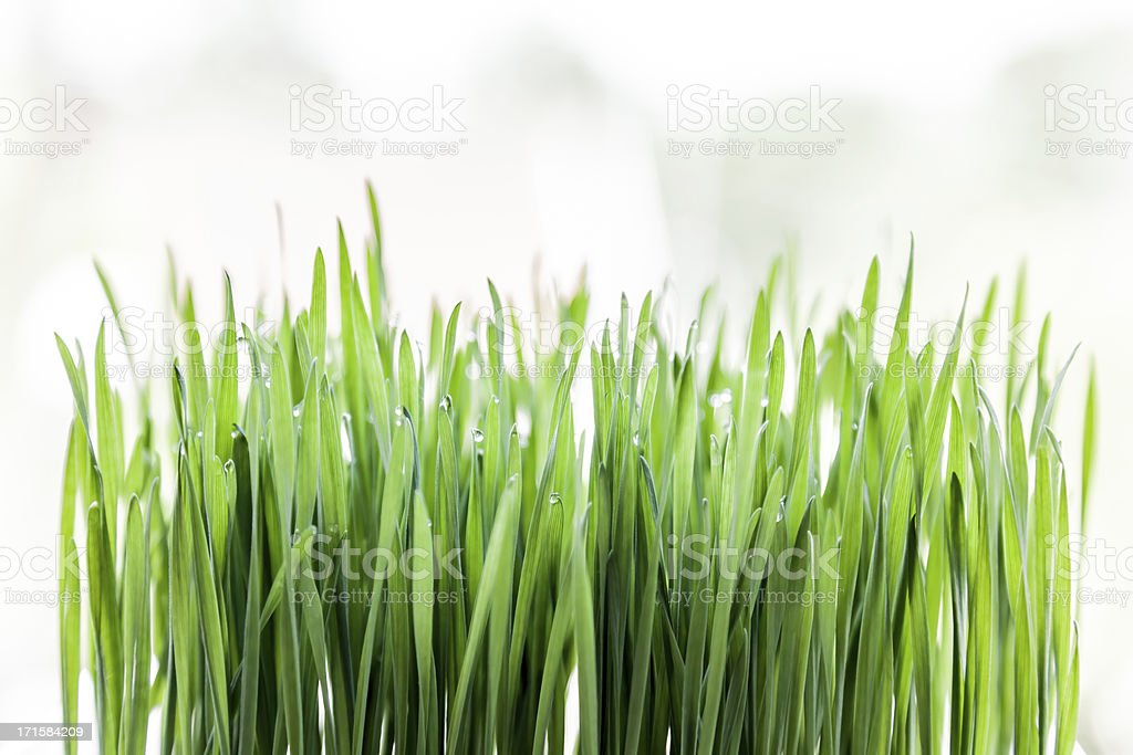 Fresh raw green wheat germ on white background. stock photo