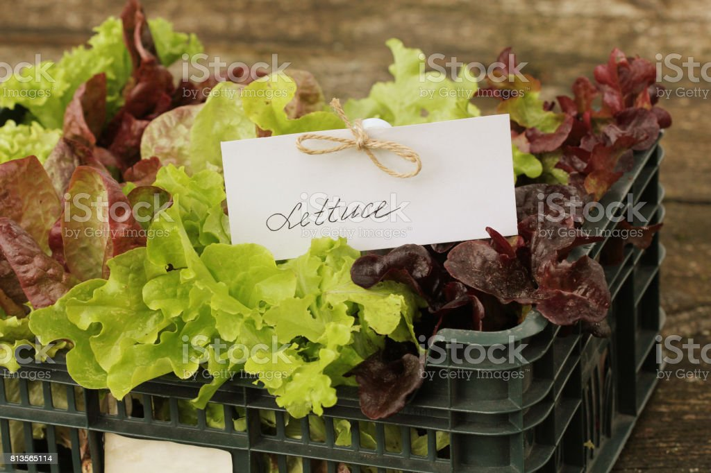 Fresh raw lettuce packed in plastic box ready to sell stock photo