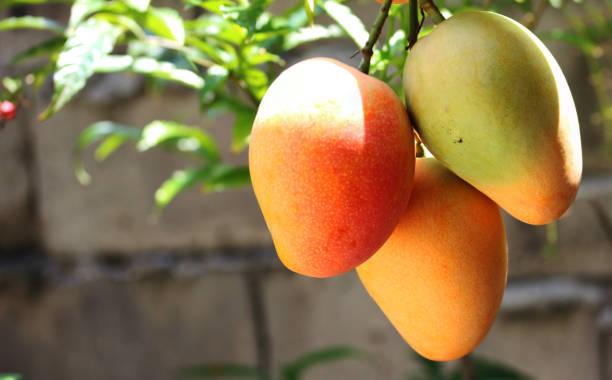 mangos frescos crudos - mango fotografías e imágenes de stock