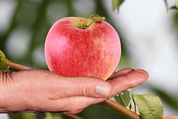 fresh red apple on a hand against the orchard