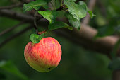 Fresh and juicy red green apple lit by sunlight on branch with green leaves in apple orchard