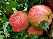 Frische rote Äpfel direkt am Baum mit Regentropfen