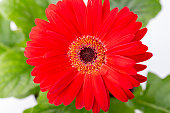 fresh red gerbera flower