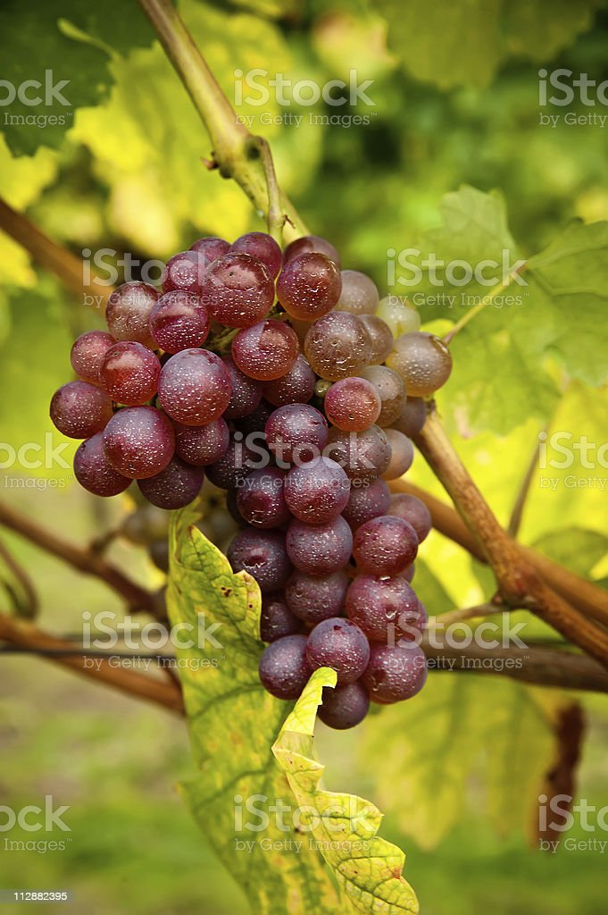 Fresh red Grapes royalty-free stock photo