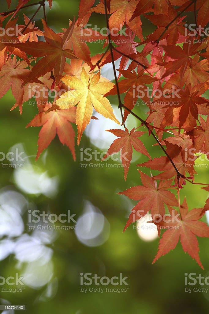 Fresh Red Leaves royalty-free stock photo