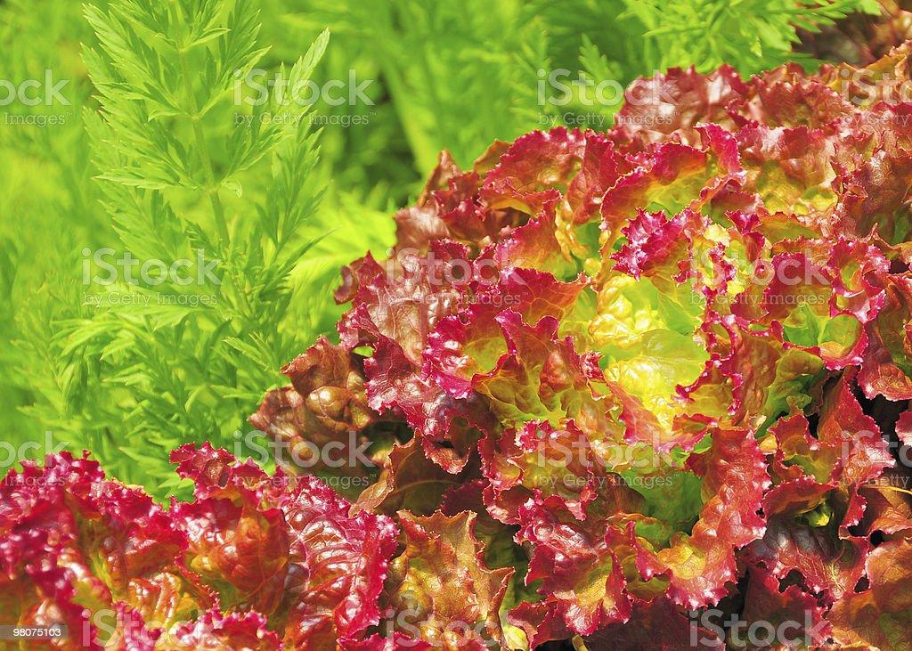 Fresh red lettuce royalty-free stock photo