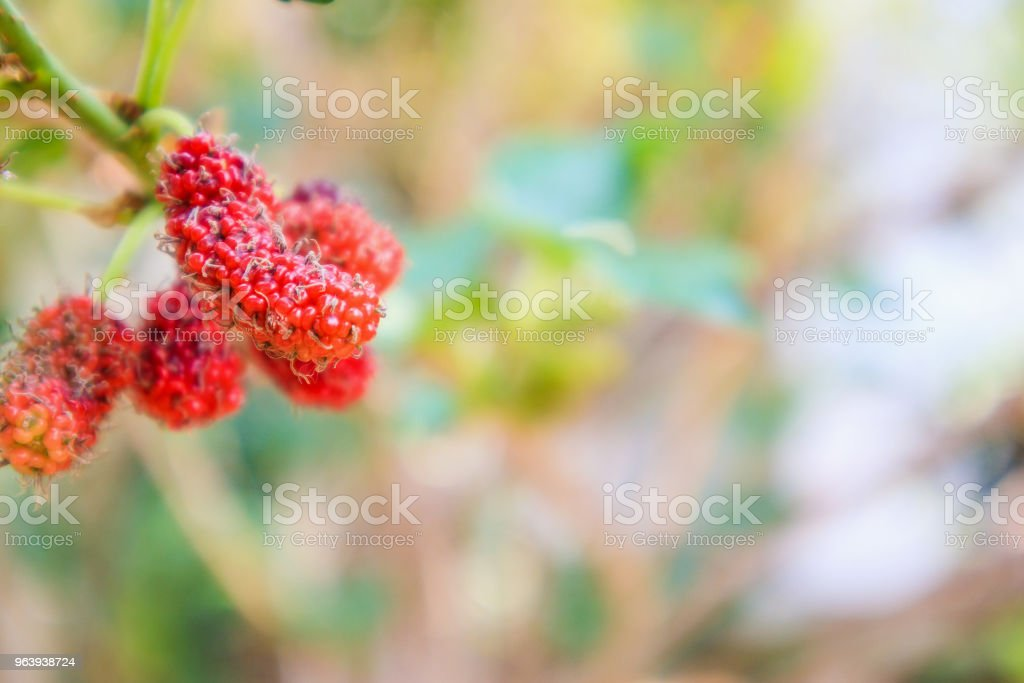 Fresh red mulberry fruits on tree branch - Royalty-free Agriculture Stock Photo