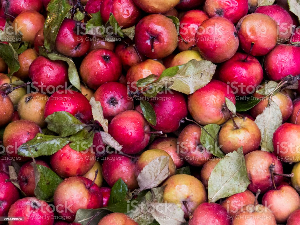 Fresh red Organic Apples with water droplets stock photo