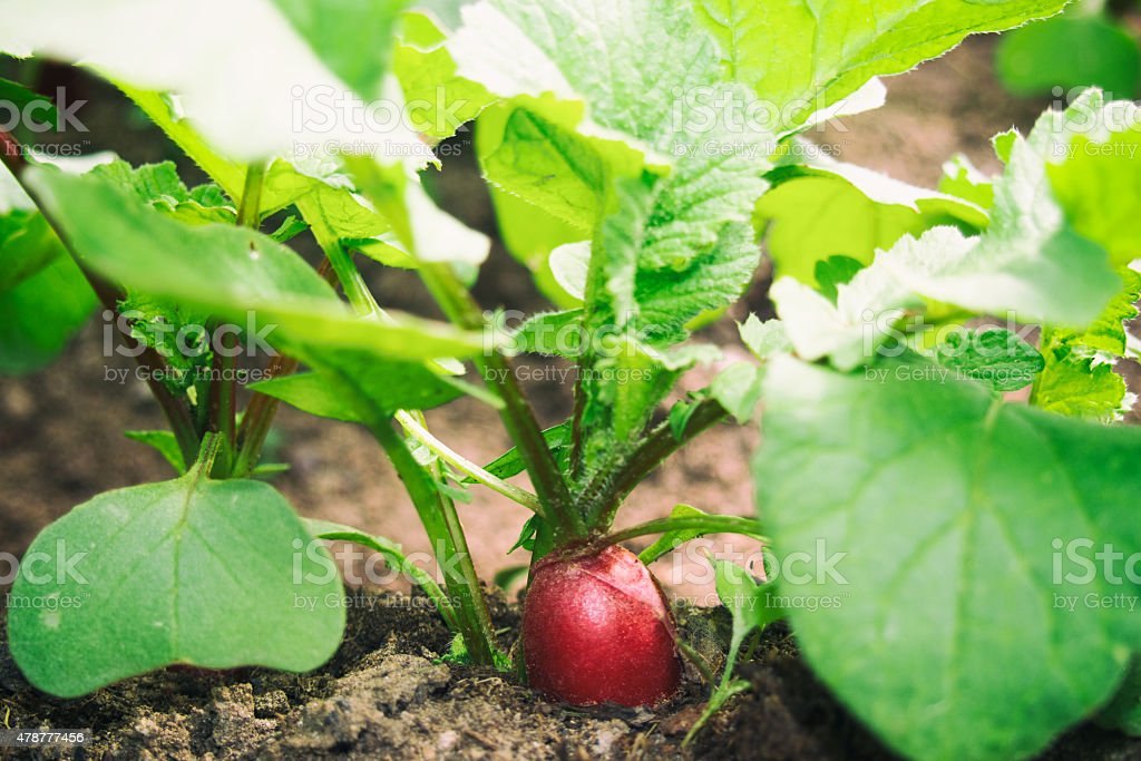 Fresh red radish in bed stock photo