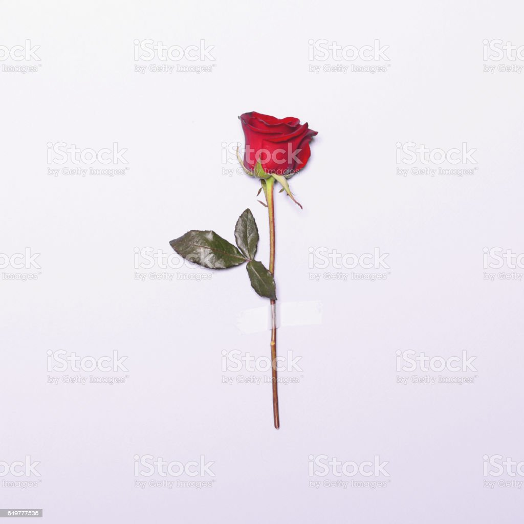 Fresh red rose flower taped on white background - Minimal flat lay concept stock photo