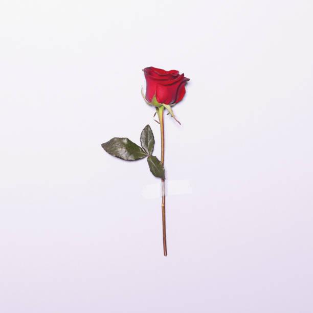 Rojo fresco flor color de rosa con cinta sobre fondo blanco - plana mínima pone concepto - foto de stock
