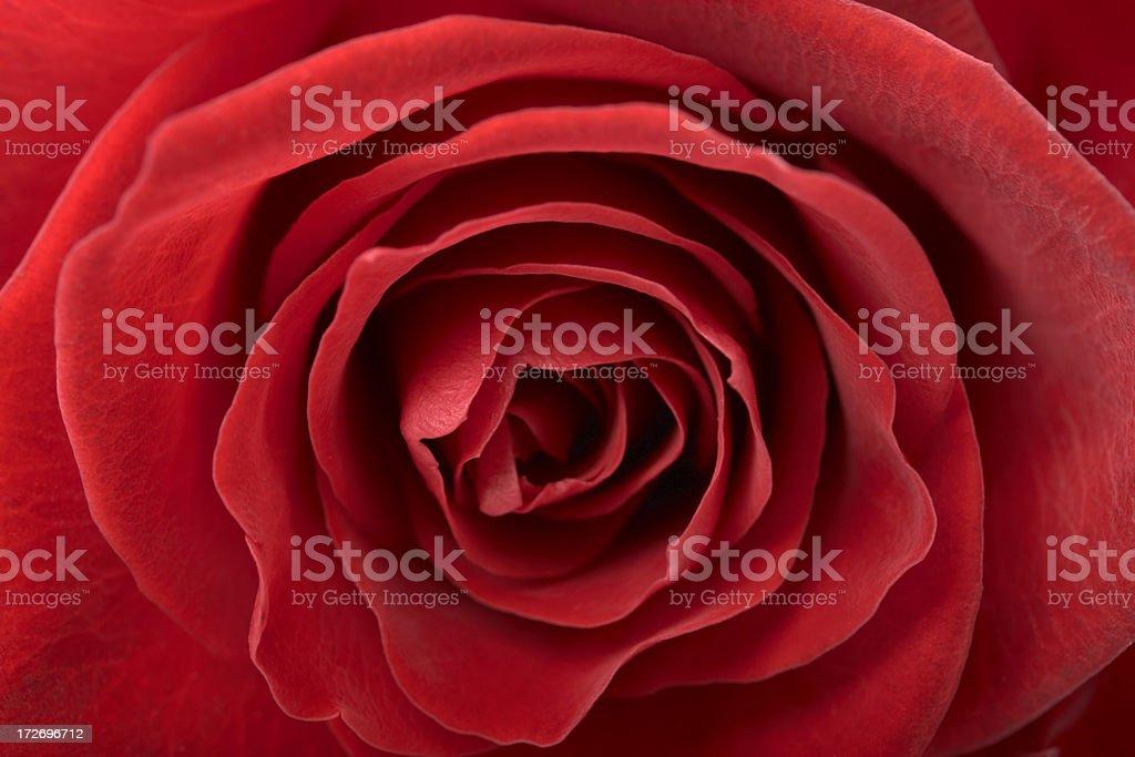 Fresh red rose royalty-free stock photo