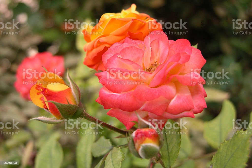 Fresh Red Roses royalty-free stock photo