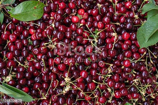 Freshly picked heap of cherries
