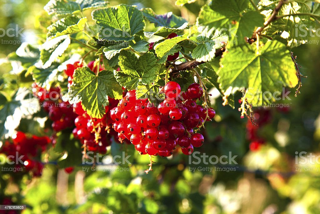 fresh red tasteful berry hanging on the bush royalty-free stock photo