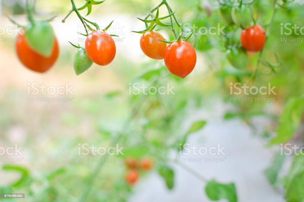 Fresh red tomatoes on plant in farm royalty-free stock photo