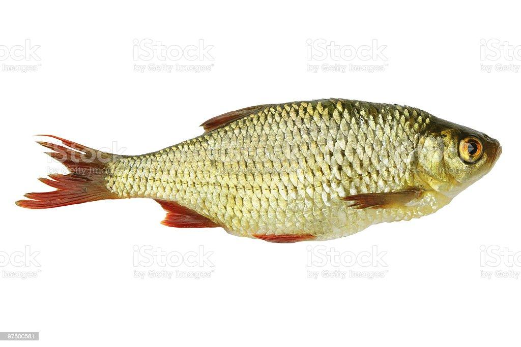 Fresh red-eye fish royalty-free stock photo