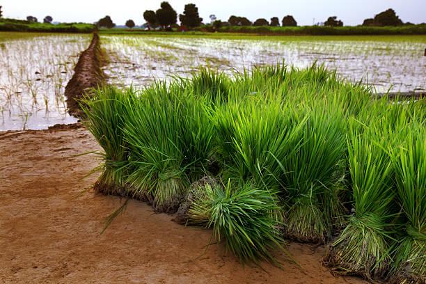 Fresh Rice Paddy Bundle stock photo