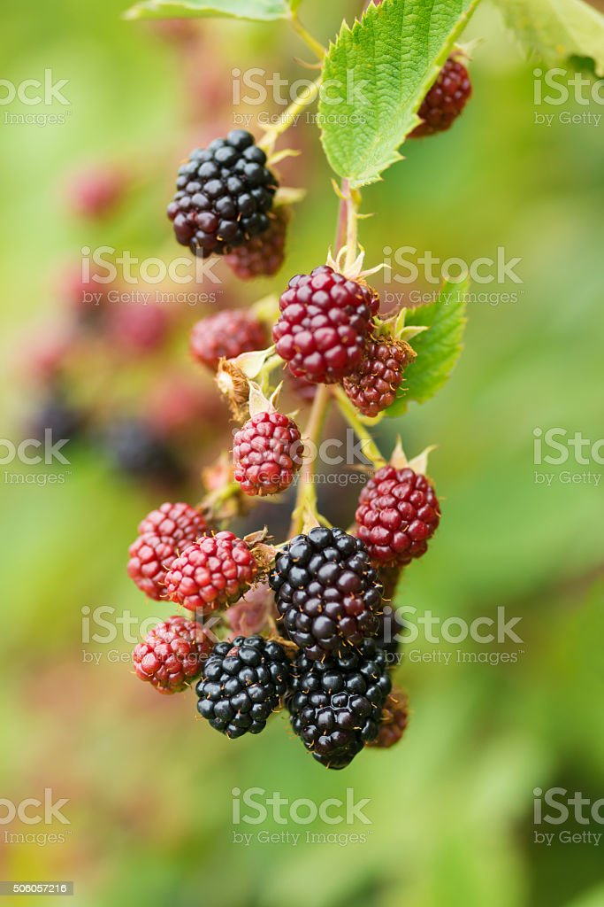 Fresh ripe and unripe Blackberry in the garden stock photo