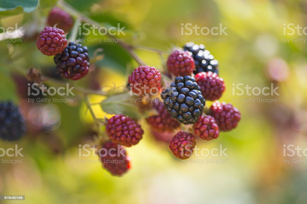 Fresh ripe and unripe Blackberry in the garden royalty-free stock photo