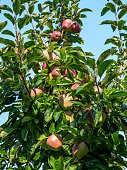 Apples ready to pick at autumn harvest time on an orchard farm