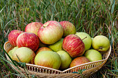Fresh ripe apples in basket on the green grass. Harvesting concept