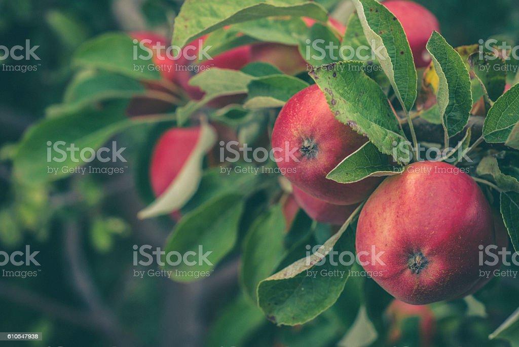 Fresh Ripe Apples on the Tree stock photo