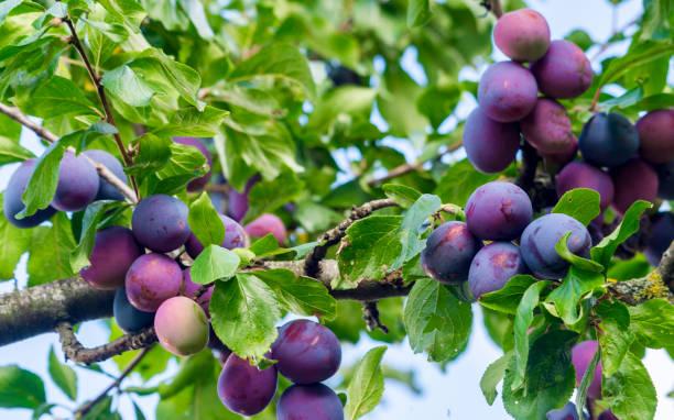 verse rijpe blauwe pruimen op boom in zomertuin - fruitboom stockfoto's en -beelden
