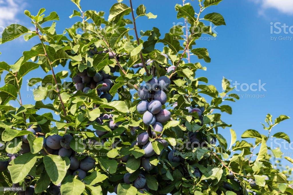 Frische reife blau violetten Pflaumen auf dem Ast im Obstgarten an einem schönen Sommertag in Westdeutschland. – Foto