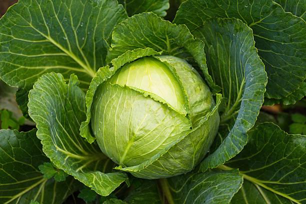 Fresh ripe cabbage