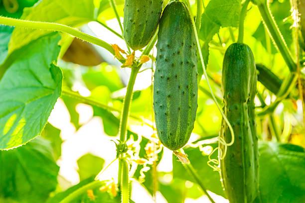 Fresh ripe cucumbers growing in greenhouse stock photo