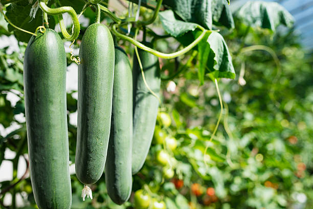 fresh ripe cucumbers in a row - cucumber stock photos and pictures