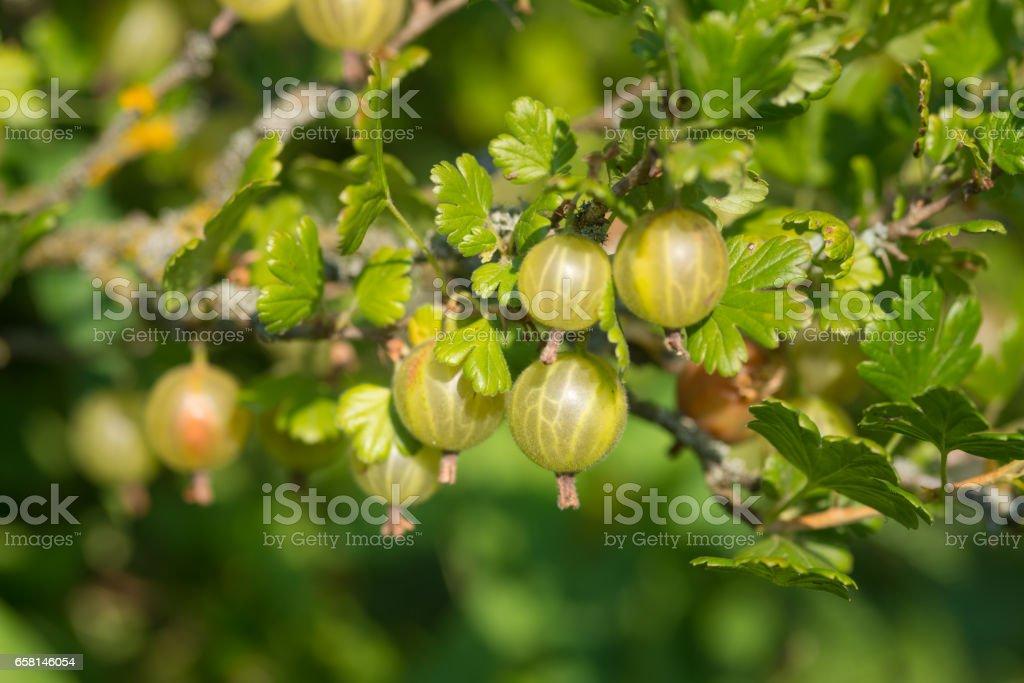 Fresh ripe gooseberry in the garden. Detail. stock photo