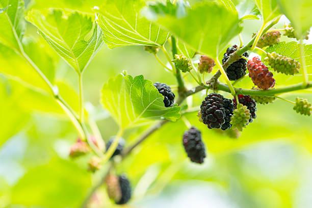 frescas maduras de amoreira - amoreiras imagens e fotografias de stock