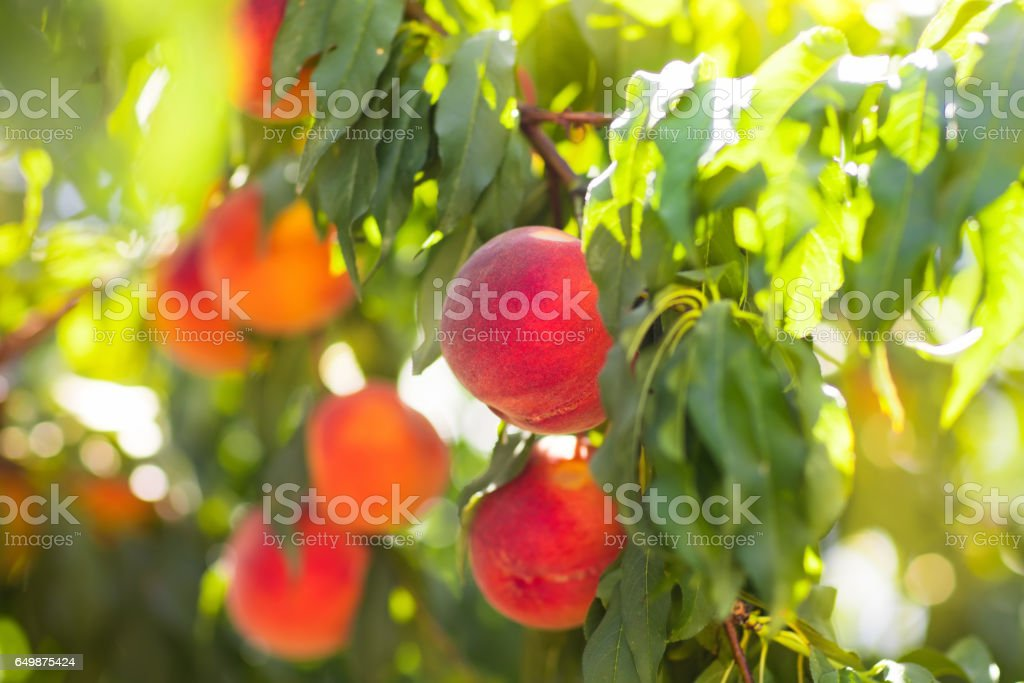 Fresh ripe peach on tree in summer orchard stock photo