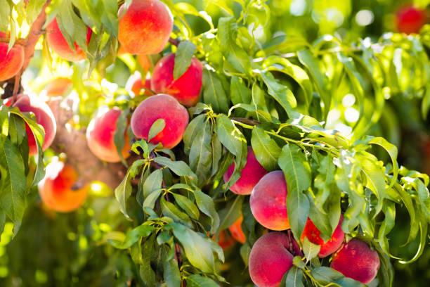 verse rijpe perzik op boom in de zomerboomgaard - fruitboom stockfoto's en -beelden