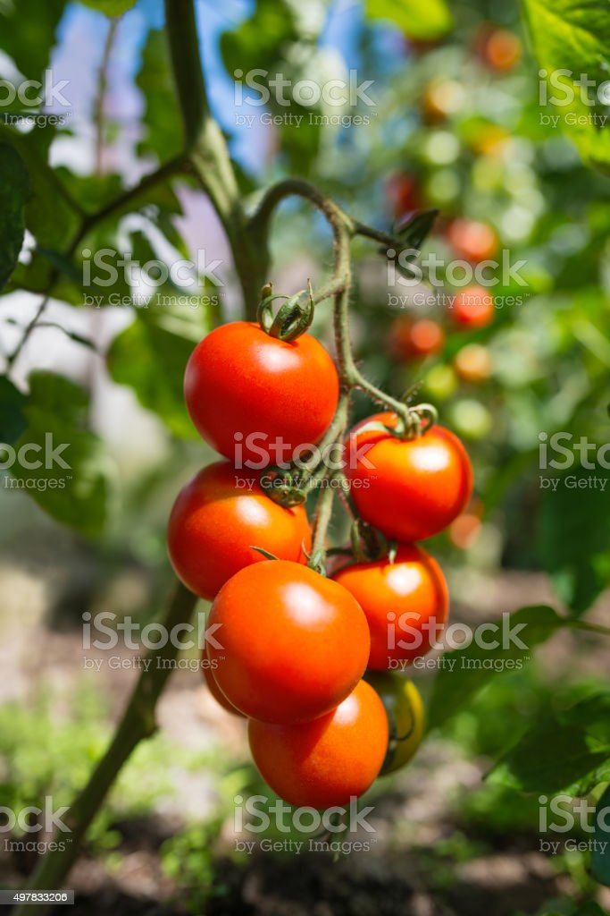 Fresh ripe red tomatoes stock photo