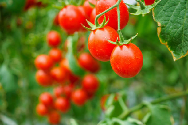 fresh ripe red tomatoes plant growth in organic greenhouse garden ready to harvest - ripe stock photos and pictures