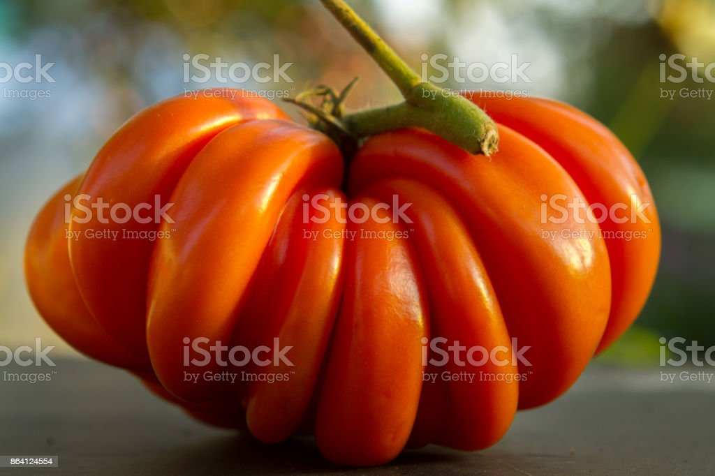 Fresh ripe ribbed heirloom tomato beefsteak-type or slicer wit royalty-free stock photo
