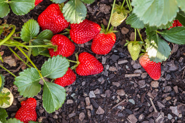 fresh ripe strawberries growing in garden closeup of fresh ripe strawberries growing in garden strawberry field stock pictures, royalty-free photos & images