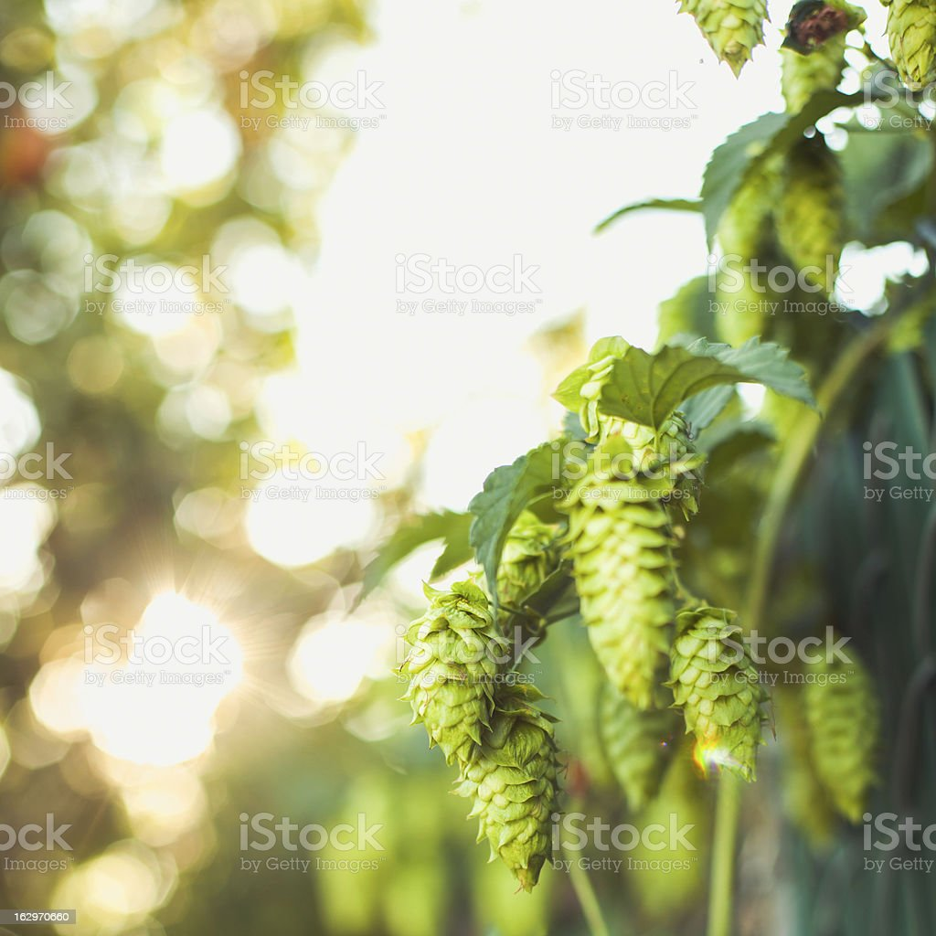 Fresh Ripe Summer Hops for Making Home Brew Beer royalty-free stock photo
