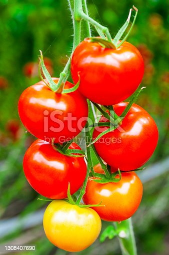 Fresh ripe tomatoes growing on tomato plants in a greenhouse with rows of long tomato plants (Solanum lycopersicum) growing up to the glass ceiling.