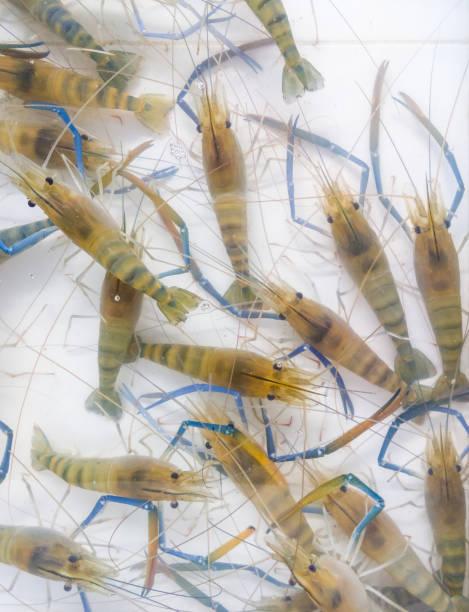 frischen fluss garnelen (macrobrachium rosenbergii). - teichfiguren stock-fotos und bilder