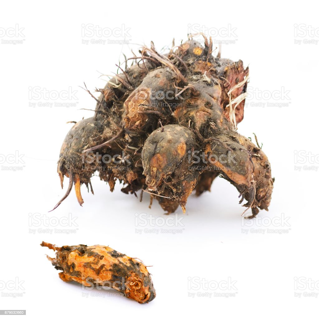fresh roots of tormentil stock photo