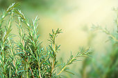 Fresh rosemary branch on blurred background tinted in shades of yellow